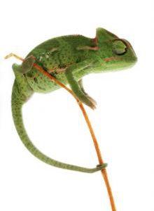chameleon jemensky