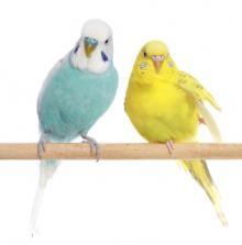 papagajec vlnkovany - andulka